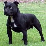 Rasa Staffordshire Bull Terrier